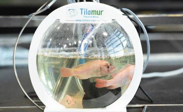 Nuevo sistema acuapónico desarrollado por Tilamur, para cultivar a pequeña escala.