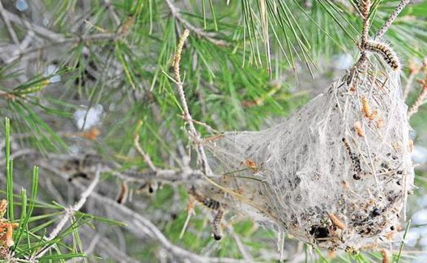 Un nido de procesionaria.