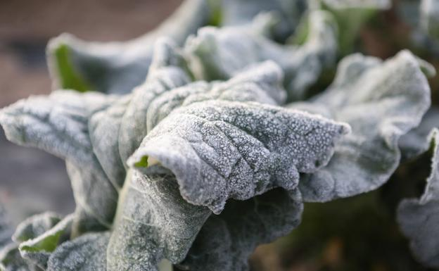 Frosts in crops in the Lorca district of Campillo, this Tuesday.